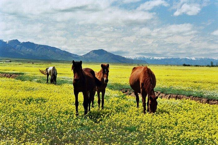 Тюльпаны в степи казахстана фото